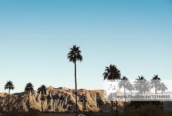 Palmen in Palm Springs  Kalifornien  USA