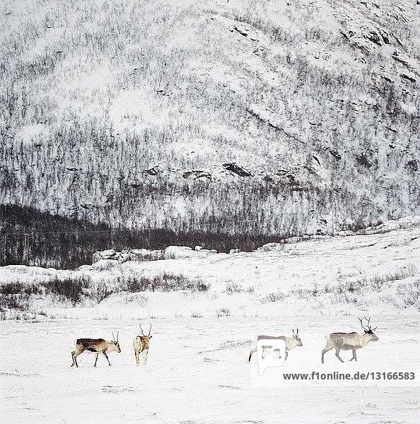Wildlife in snowy winter landscape