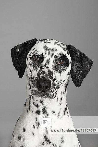 Close up studio portrait of dalmatian dog