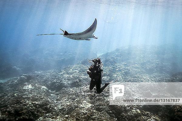A Manta Ray (Manta alfredi) swimming over a scuba diver   Bali  Indonesia