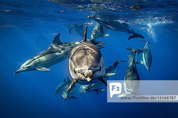 Common dolphins  Pico  Portugal