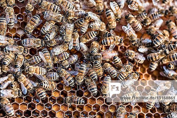 Bienen bei der Arbeit in der Wabe  Nahaufnahme