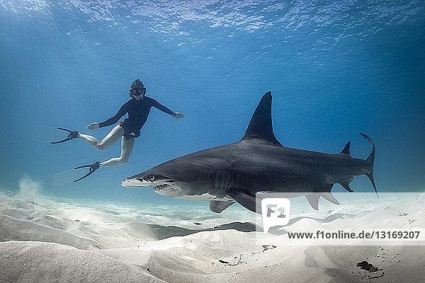 Woman free diving with Hammerhead shark  Bimini  Bahamas