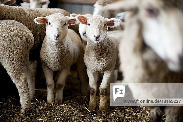 Flock of sheep in barn