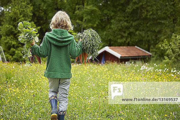 Rückansicht eines Jungen  der Karotten durch den Garten trägt