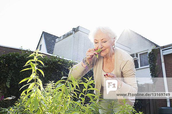 Ältere Frau im Garten  Kräuter riechend