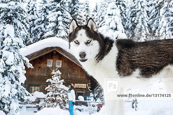 Österreich  Altenmarkt-Zauchensee  Hund im Schnee mit Frau an der Hütte im Hintergrund