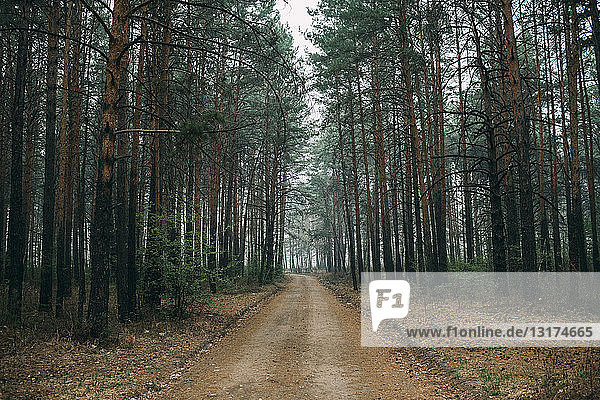 Empty forest track through pines