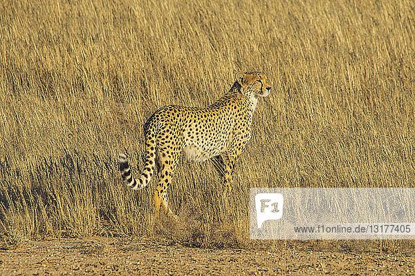 Südafrika  Kalahari-Grenzpark  Gepard  Acinonyx jubatus