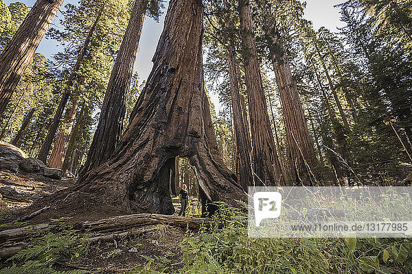 USA  Kalifornien  Sequoia-Nationalpark  Sequoia-Baum und Frau und Passage