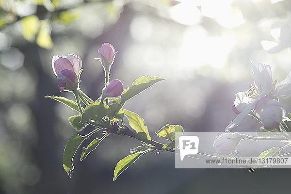 Apfelbaum  Apfelblüten  Sonnenlicht