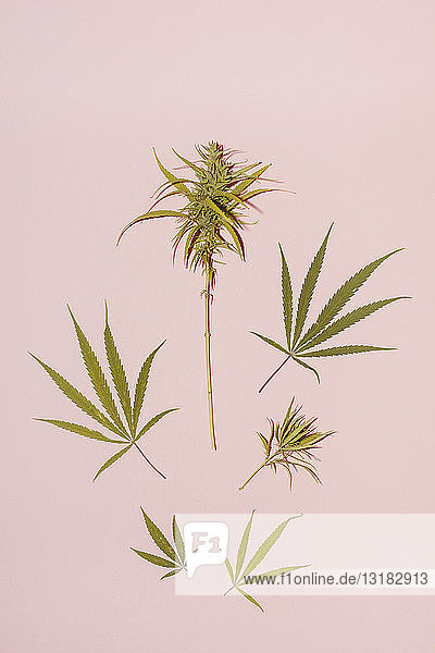 Cannabis leaf on pink background  copy space