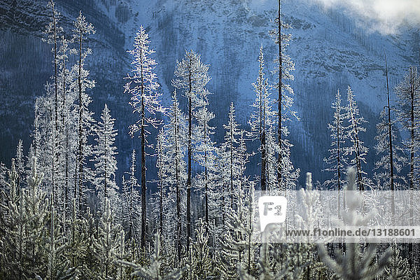 Snow covered forest trees below mountain  Marble Canyon  Alberta  Canada Snow covered forest trees below mountain, Marble Canyon, Alberta, Canada