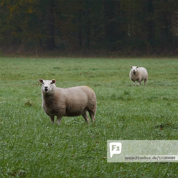 Texel Sheep Chewing Grass