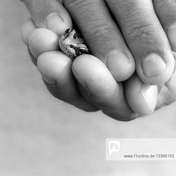 Männerhände halten Frosch