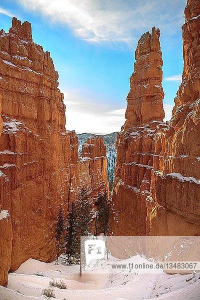 Douglaskiefern (Pseudotsuga menziesii) wachsen zwischen hohen bizarren Felsnadeln  Felslandschaft mit Hoodoos im Schnee  Winter  Navajo Loop Trail  Bryce Canyon Nationalpark  Utah  USA  Nordamerika