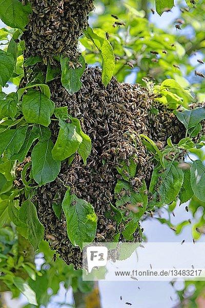 Neue Kolonie von Honigbienen (Apis mellifera) am Stamm eines Apfelbaumes