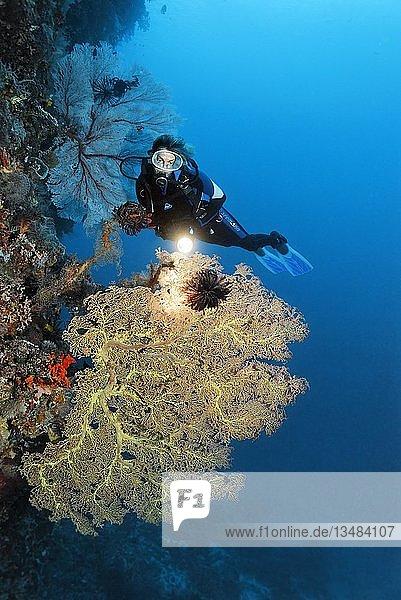 Taucher mit Lampe an Korallenriff-Steilwand betrachtet Riesenfächergorgonie (Annella mollis)  Pazifik  Queensland  Australien  Ozeanien