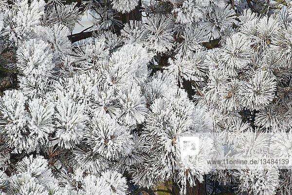 Eiskristalle  Rauhreif an Nadeln einer Kiefer (Pinus)  Schleswig-Holstein  Deutschland  Europa