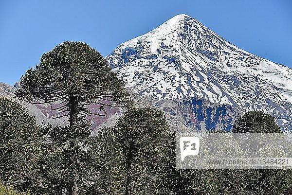 Schneebedeckter Vulkan Lanin und Chilenische Araukarie (Araucaria araucana)  zwischen San Martin de los Andes und Pucon  Nationalpark Lanin  Patagonien  Grenze zwischen Argentinien und Chile