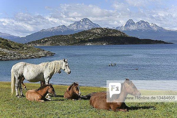 Pferde am Beaglekanal im Nationalpark Tierra del Fuego  Argentinien  Südamerika