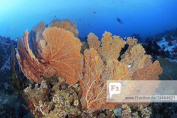 Taucher schwebt über Korallenriff-Riffrücken mit Riesenfächergorgonien (Annella mollis),  Rotes Meer,  Ägypten,  Rotes Meer,  Ägypten,  Afrika