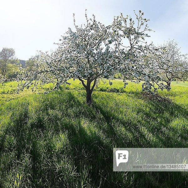 Blühender Apfelbaum (Malus) vor tiefstehender Sonne bei Obereichstätt im Naturpark Altmühltal  Bayern  Deutschland  Europa