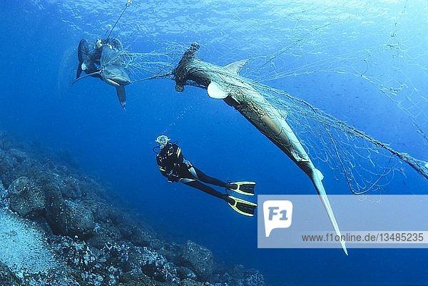 Taucher betrachtet toten Bogenstirn Hammerhai (Sphyrna lewini) und Galapagoshai (Carcharhinus galapagensis) in verwaistem Fischernetz,  Wolf Island,  Galapagos Archipel,  Unesco Weltnaturerbe,  Pazifik,  Ecuador,  Südamerika