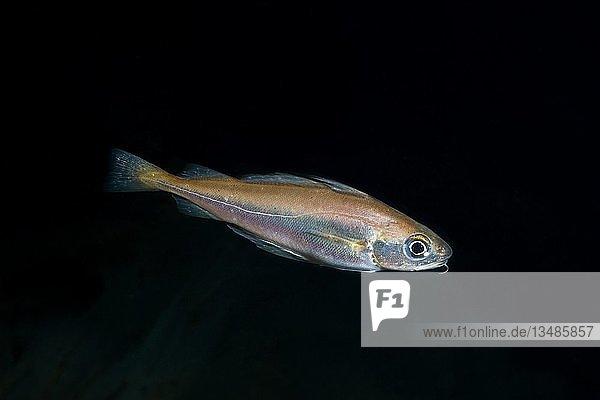 Zwergdorsch (Trisopterus Minutus)  Nordmeer  Nordatlantik  Norwegen  Europa
