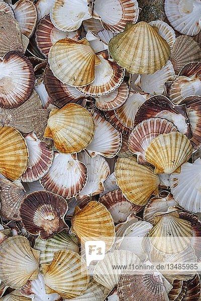 Muscheln  Hintergrundbild  viel Kleine Pilgermuscheln (Aequipecten opercularis)  Nordmeer  Nördliche Atlantikregion  Norwegen  Europa