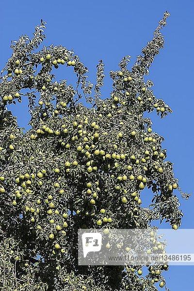 Birnbaum (Pyrus) mit reifen Birnen  blauer Himmel  Deutschland  Europa