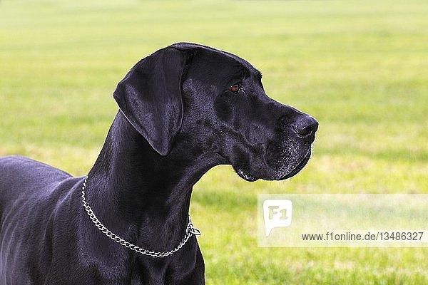 Schwarze Dogge (Canis lupus familiaris)  Hunderasse  Tierportrait  Deutschland  Europa