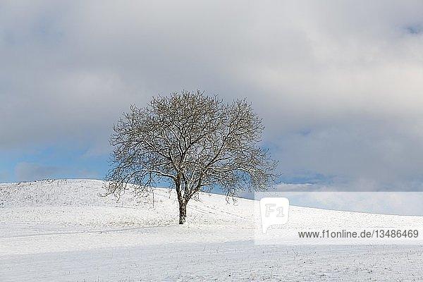 Einzelner Baum in Schneelandschaft auf dem Bodanrücken  Langenrain  Allensbach  Baden-Württemberg  Deutschland  Europa