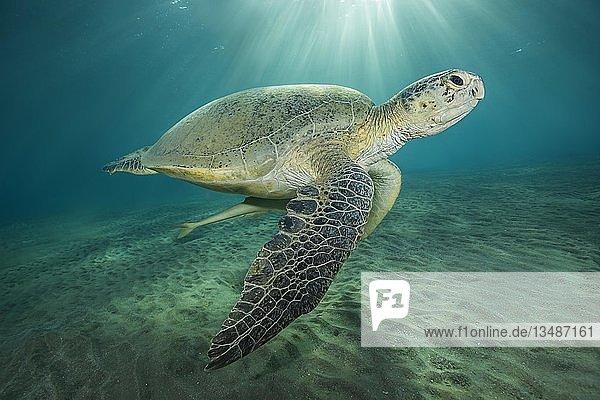 Suppenschildkröte (Chelonia mydas) mit Gestreifter Schiffshalter (Echeneis naucrates) schwimmt im blauen Wasser  Rotes Meer  Marsa Alam  Ägypten  Afrika