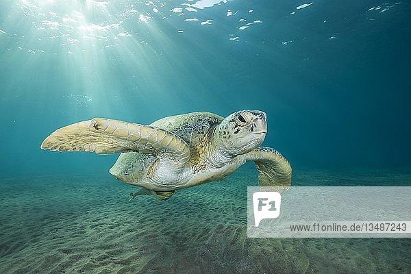 Suppenschildkröte (Chelonia mydas) schwimmt über Sandboden im blauen Wasser  Rotes Meer  Marsa Alam  Ägypten  Afrika