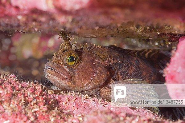 Stachelrückenschleimfisch (Chirolophis ascanii) versteckt in der Spalte des Riffs  Nordmeer  Nordatlantik  Norwegen  Europa