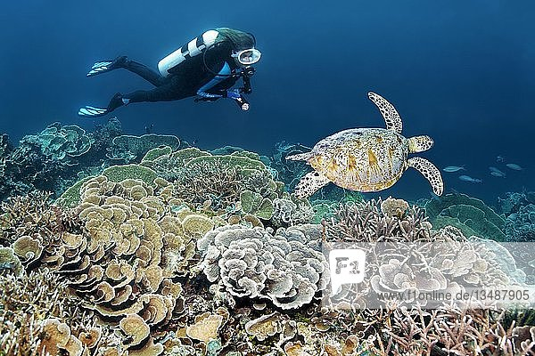 Taucher taucht an Korallenriff mit verschiedenen Steinkorallen (Hexacorallia) beobachet Grüne Meeresschildkröte (Chelonia mydas)  Großes Barriereriff  Pazifik  Australien  Ozeanien