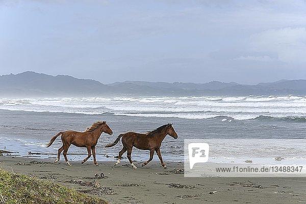 Pferde am Strand  Pazifik  Chiloe  Chile  Südamerika