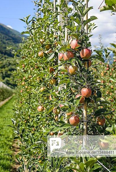 Äpfel hängen am Apfelbaumen  Apfelplantage  Trentino  Südtirol  Italien  Europa