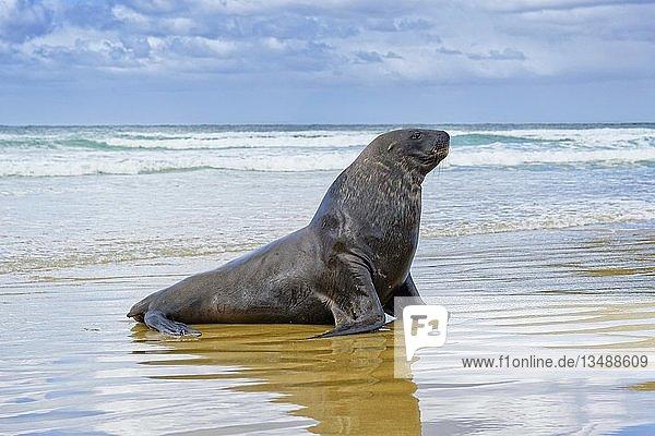 Neuseeländischer Seelöwe (Phocarctos hookeri)  Bulle am Strand der Cannibal Beach  New Haven  Catlins  Südinsel  Neuseeland  Ozeanien