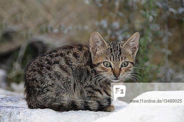 Junge Katze  getigert  sitzt im Schnee  Kreta  Griechenland  Europa