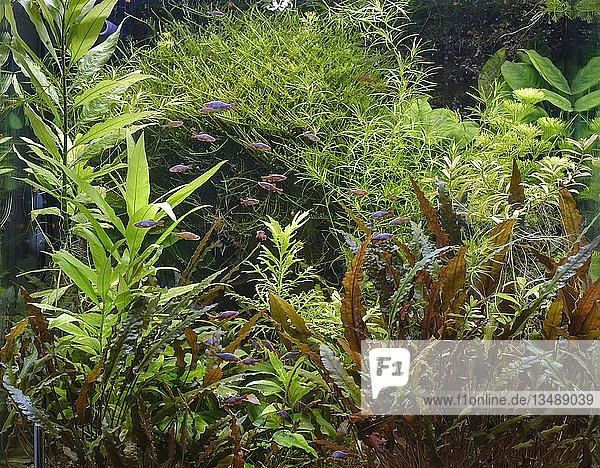 Dicht bepflanztes tropisches Süßwasser-Aquarium  Perlhuhnbärblinge (Danio margaritatus)  Deutschland  Europa
