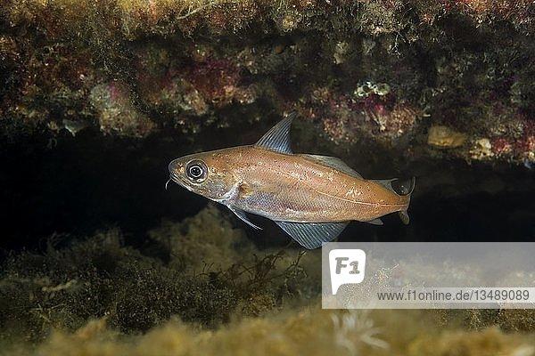 Stintdorsch (Trisopterus esmarkii) nahe Riff  norwegisches Meer  Nordatlantik  Norwegen  Europa