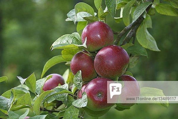 "Rote Ã""pfel am Apfelbaum (Malus domestica)  Sorte Berner Rosenapfel  Deutschland  Europa"
