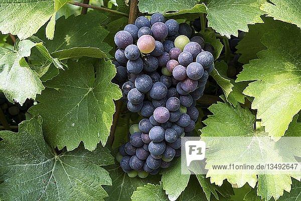 Blaue Weintrauben an Rebe  Dossenheim  Baden-Württemberg  Deutschland  Europa