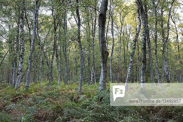 Farn im Birkenwald  Naturschutzgebiet Beversee  Bergkamen  Ruhrgebiet  Nordrhein-Westfalen  Deutschland  Europa