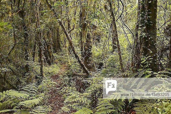 Gemäßigter Regenwald  Urwald mit Farnen an der Carretera austral  Valle Exploradores  Parque Nacional Laguna San Rafael  Patagonien  Chile  Südamerika