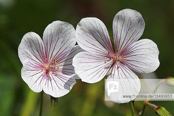 Clarkes Storchschnabel (Geranium clarkei)  Sorte Kashmir White  Deutschland  Europa