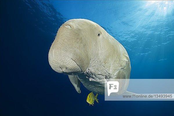 Dugong (Dugong dugon) mit Schwarzgoldener Pilotmakrele (Gnathanodon speciosus) unter der Wasseroberfläche  Rotes Meer  Hermes Bay  Marsa Alam  Ägypten  Afrika