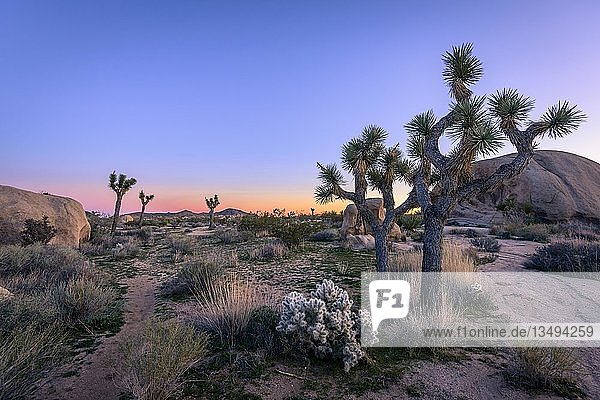 Wüstenlandschaft  Josua-Palmlilien (Yucca brevifolia) und Teddybär-Kaktus (Cylindropuntia bigelovii) bei Sonnenuntergang  White Tank Campground  Joshua-Tree-Nationalpark  Desert Center  Kalifornien  USA  Nordamerika